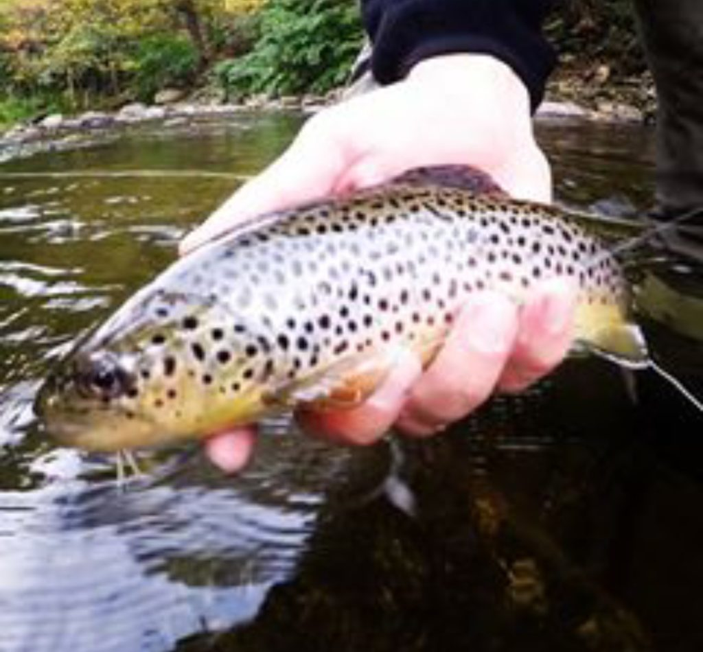 Brown Trout Fly Fishing Vermont